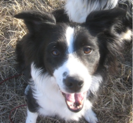 Adopt - Western Border Collie Rescue